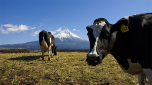 Cattle/Mount Fuji photo (cc): -jell- (flickr)